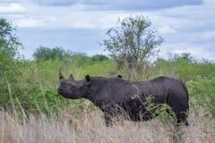 黑犀在克鲁格国家公园,南非 库存照片
