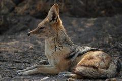 被返回的黑色狐狼 库存图片