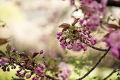 Δέντρο με το ρόδινο κεράσι την άνοιξη Στοκ Εικόνες