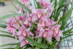 美丽的桃红色兰花植物兰花 库存图片