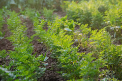 生长在一个被上升的菜园里的年轻红萝卜供住宿 图库摄影