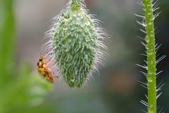 在鸦片芽的湿瓢虫 库存图片