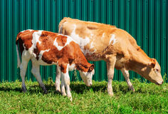 两头幼小小牛 免版税图库摄影