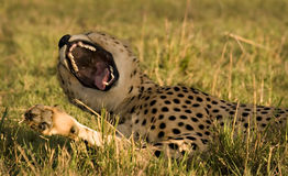 打呵欠的猎豹 图库摄影