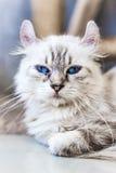 蓝眼睛的猫,逗人喜爱的猫,美丽的猫 库存图片