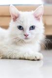 蓝眼睛的猫,逗人喜爱的猫,美丽的猫 图库摄影