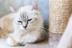 蓝眼睛的猫,逗人喜爱的猫,美丽的猫 免版税库存照片
