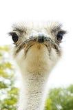 Сердитый страус Стоковые Фото