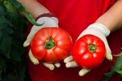 拿着蕃茄收获的手 免版税库存照片