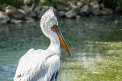 Пеликан в русском зоопарке Стоковая Фотография