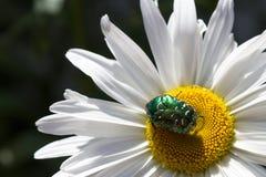 在雏菊的大绿色甲虫 免版税图库摄影