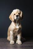 猎犬坐黑暗的背景 免版税图库摄影