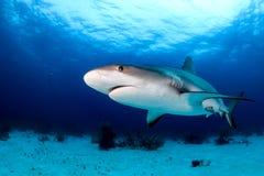 Акула на темном рифе Стоковая Фотография