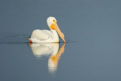 Белый пеликан в воде Стоковое Изображение RF