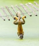 松鼠猴子-饮用水上部下来 免版税库存照片