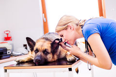 Зооветеринарная рассматривая собака немецкой овчарки с больным ухом Стоковая Фотография