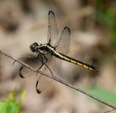 板岩状漏杓蜻蜓 库存图片