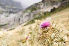 Λουλούδι κάρδων γάλακτος Στοκ φωτογραφία με δικαίωμα ελεύθερης χρήσης