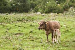 Μια αγελάδα και ένας μόσχος Στοκ Εικόνα