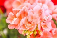 ροζ γερανιών λουλουδι Στοκ εικόνα με δικαίωμα ελεύθερης χρήσης