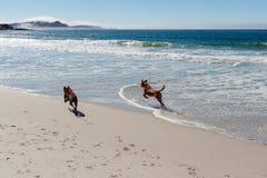 跑在海洋海滩的两条狗 免版税库存照片
