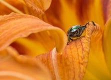 甲虫日语 免版税库存照片