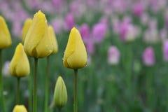郁金香在春天开花绽放 免版税库存图片
