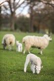 绵羊和春天在领域的小羊羔 库存照片