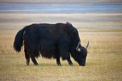 吃草在干草原的成年男性狂放的牦牛 免版税库存图片