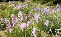 有蓝色虹膜的花圃 免版税库存图片
