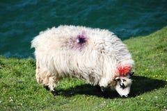 威尔士绵羊 免版税库存图片
