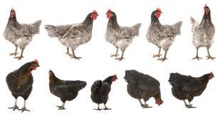 母鸡汇集 图库摄影