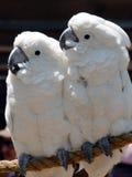 美冠鹦鹉 免版税库存照片