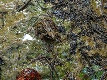 在含水地面的被伪装的蟾蜍 免版税图库摄影