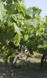 виноградное вино Стоковое Изображение RF