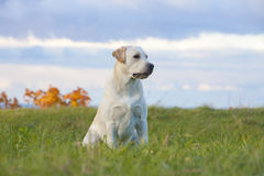 狗拉布拉多猎犬 免版税图库摄影