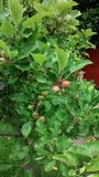 生长在树枝的小苹果 免版税库存图片