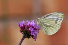 Μια πράσινη φλεβώδης πεταλούδα στο πορφυρό λουλούδι Στοκ εικόνες με δικαίωμα ελεύθερης χρήσης