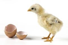 鸡鸡蛋一点 图库摄影