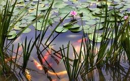 鲤鱼百合橙色桃红色池塘水白色 免版税库存照片