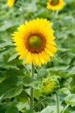 Солнцецветы в поле в летнем дне Стоковое Изображение