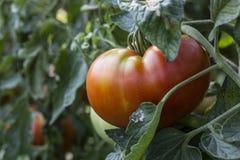 蕃茄的图象 图库摄影