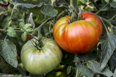 红色和绿色蕃茄 免版税库存图片