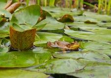 Лягушка в пруде лилии Стоковое Изображение
