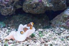 Плавая рыбы в аквариуме Стоковые Фото