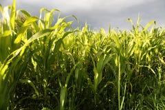 绿色玉米成长  免版税库存照片
