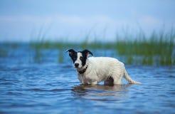 站立在海的水中的看家狗小狗 图库摄影