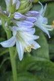 唯一玉簪属植物开花 免版税库存照片