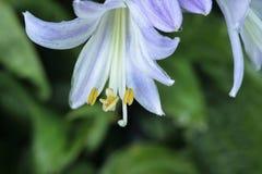 唯一玉簪属植物开花 库存图片