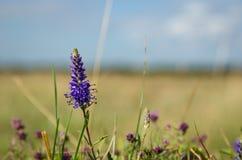 Одиночный спиковой цветок Вероники Стоковое фото RF